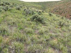 Beezley Shrub Steppe - Wyoming sagebrush.  Credit:  Joe Rocchio