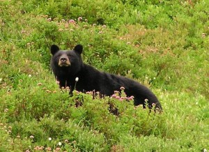Black bear in Olympic National Park. Credit: National Park Service